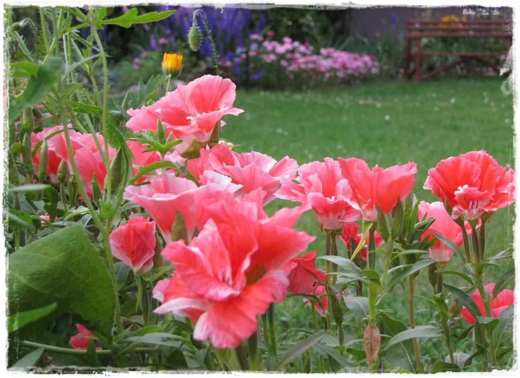Godecja wielkokwiatowa zogrodemnaty6