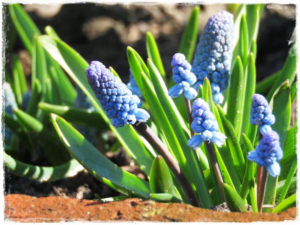 kwiaty kwitnące wczesną wiosną zogrodemnaty14