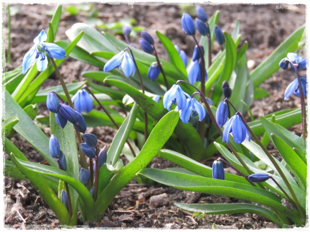 kwiaty kwitnące wczesną wiosną zogrodemnaty11 cebulica syberyjska