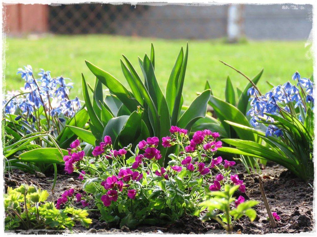 kwiaty kwitnące wczesną wiosną zogrodemnaty18 gęsiówka kaukaska3