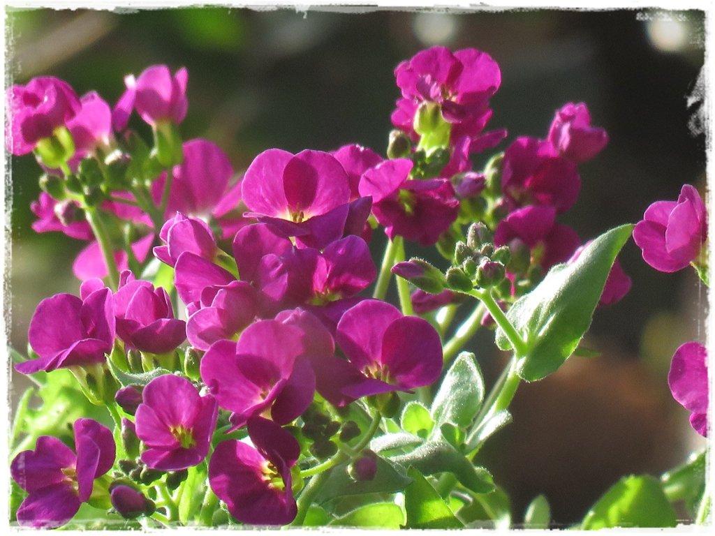 kwiaty kwitnące wczesną wiosną zogrodemnaty17a gęsiówka kaukaska