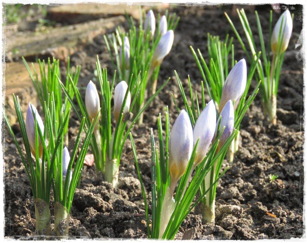 kwiaty kwitnące wczesną wiosną zogrodemnaty9 krokusy
