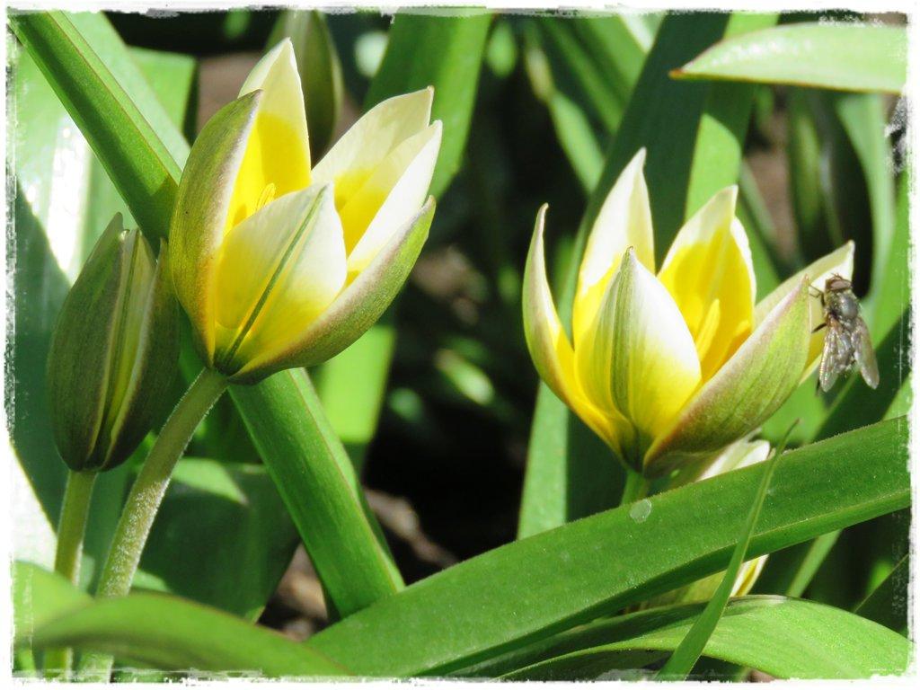 kwiaty kwitnące wczesną wiosną zogrodemnaty17c tulipany botaniczne