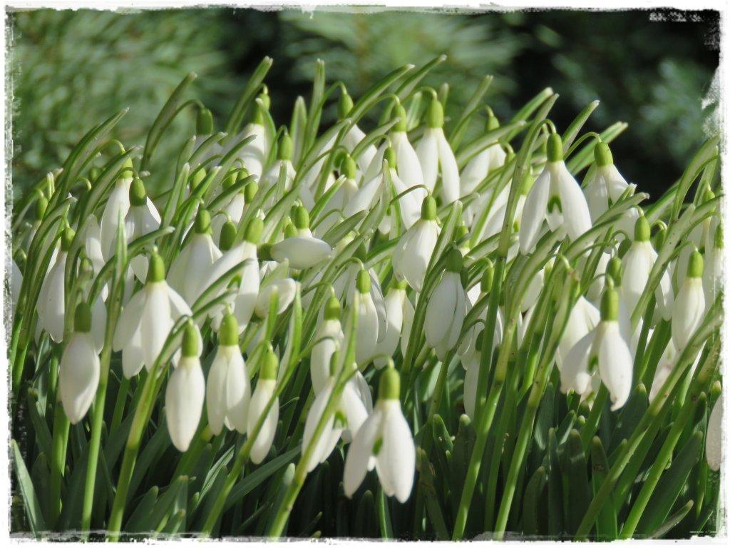 kwiaty kwitnące wczesną wiosną zogrodemnaty5 przebiśnieg