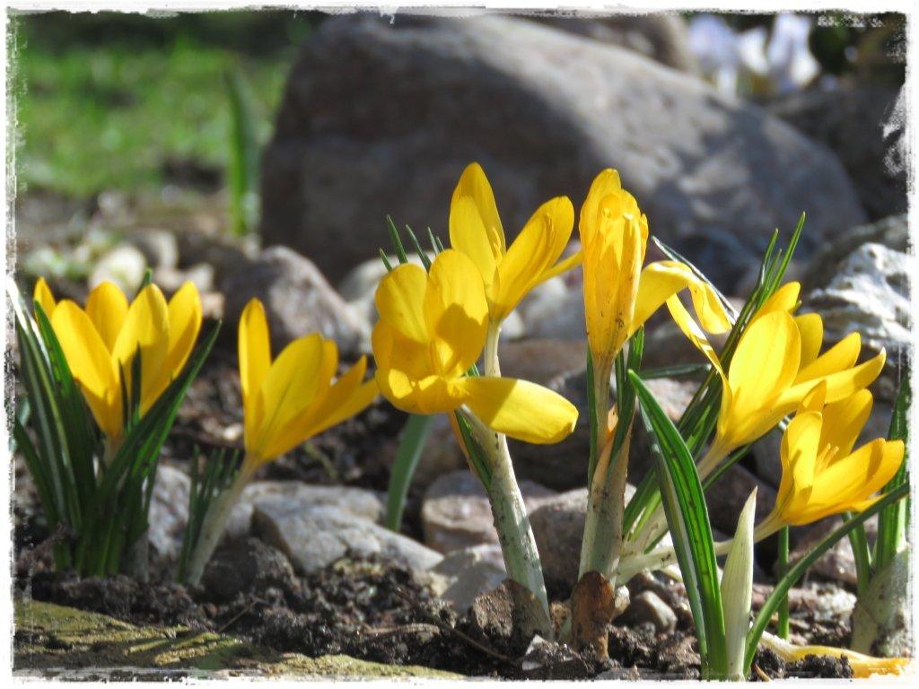 kwiaty kwitnące wczesną wiosną zogrodemnaty7 krokus