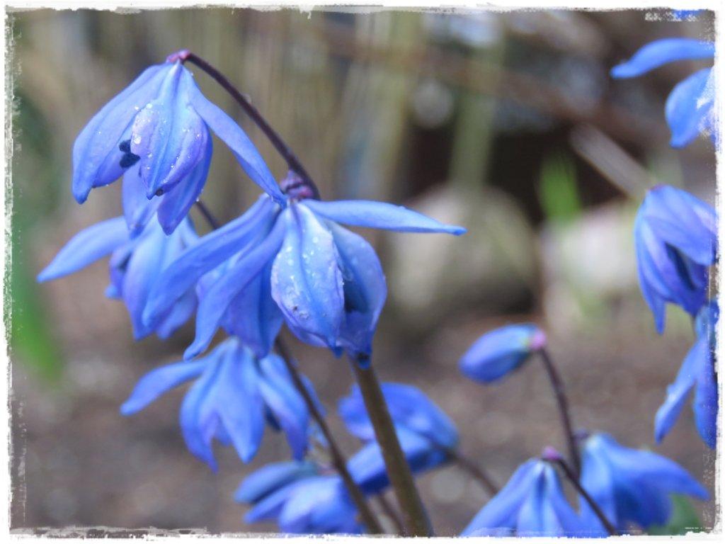 kwiaty kwitnące wczesną wiosną zogrodemnaty12 cebulica syberyjska
