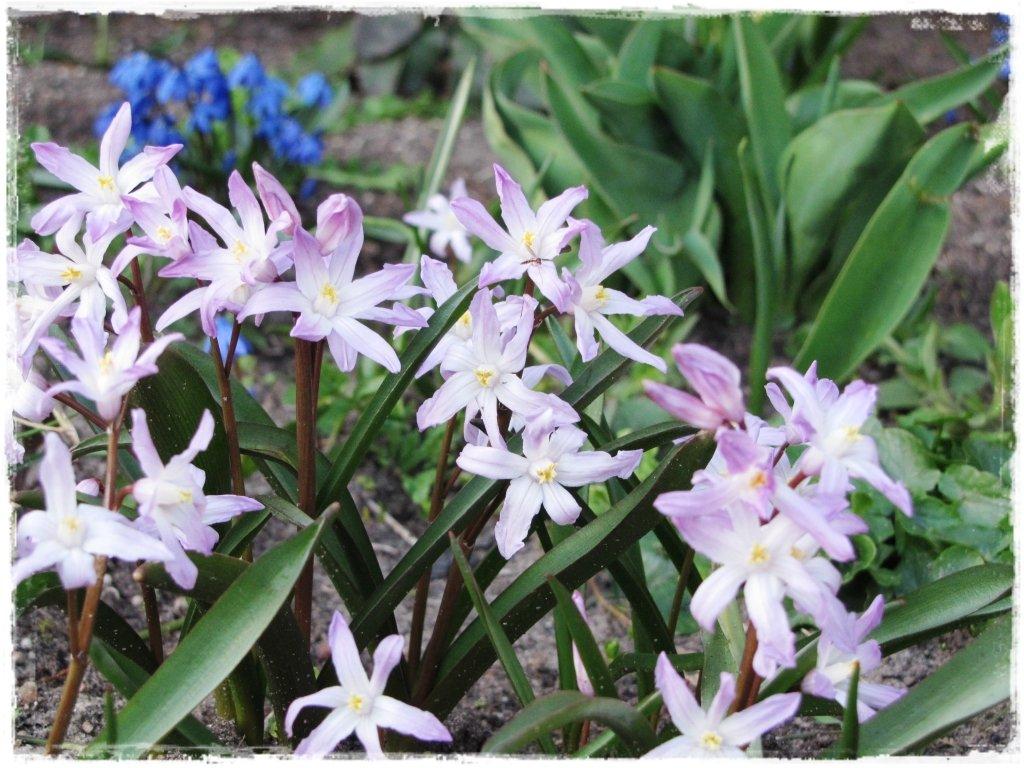 kwiaty kwitnące wczesną wiosną zogrodemnaty15 śnieżnik lśniący