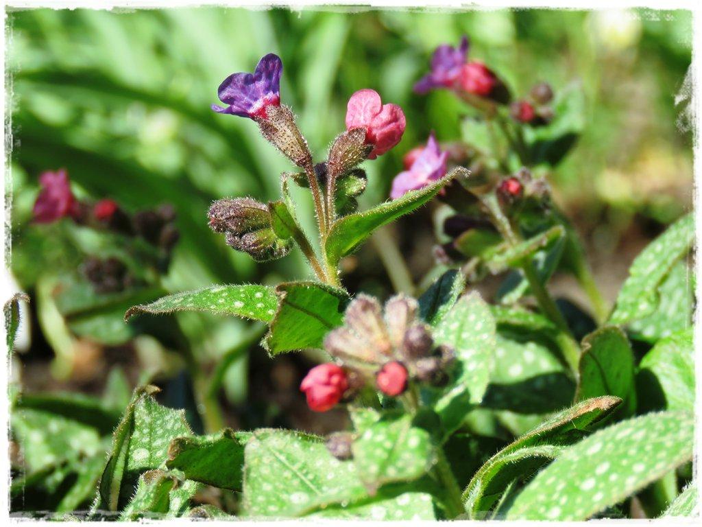 kwiaty kwitnące wczesną wiosną zogrodemnaty17b miodunka