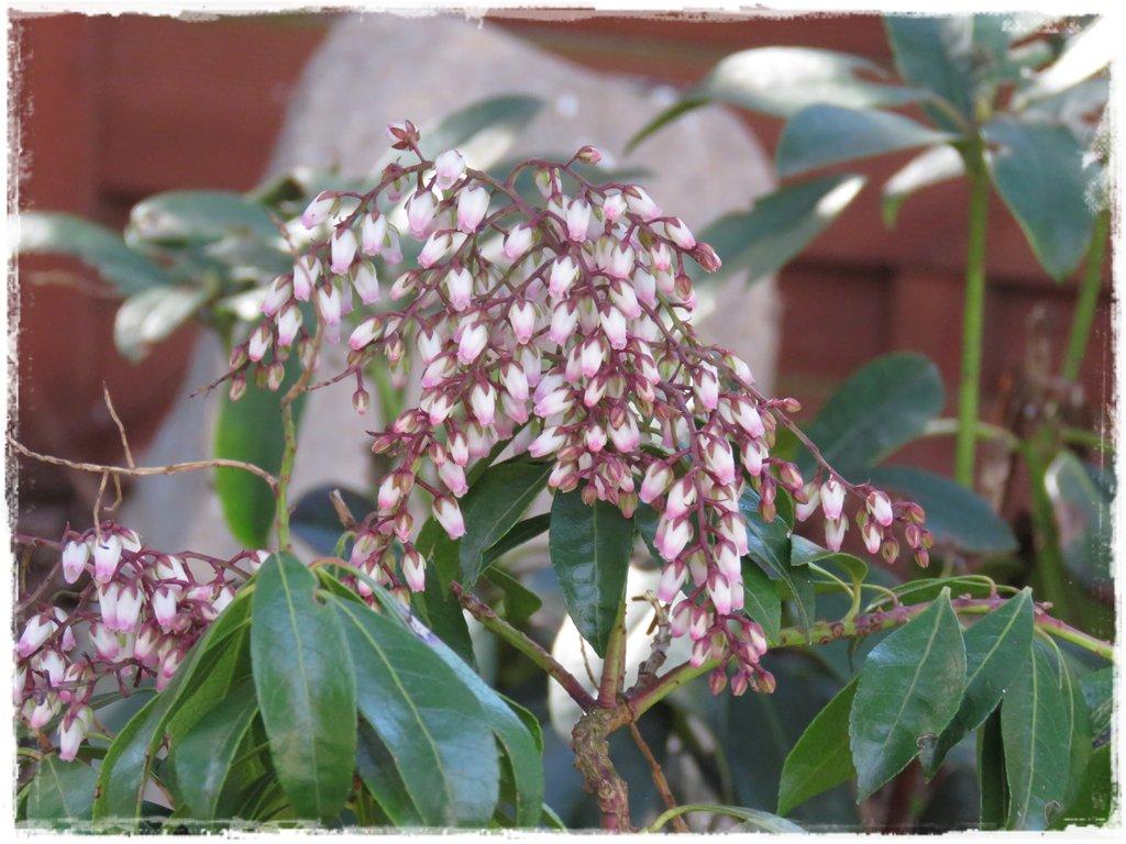 kwiaty kwitnące wczesną wiosną zogrodemnaty25a pieris japoński