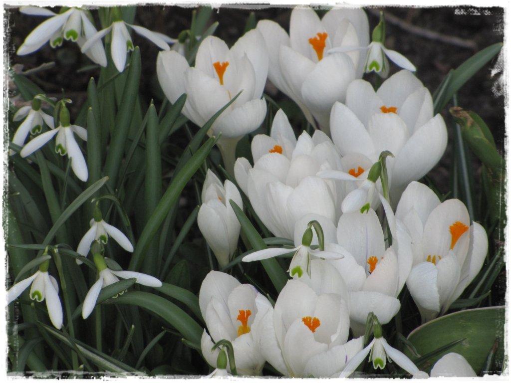kwiaty kwitnące wczesną wiosną zogrodemnaty8 krokus