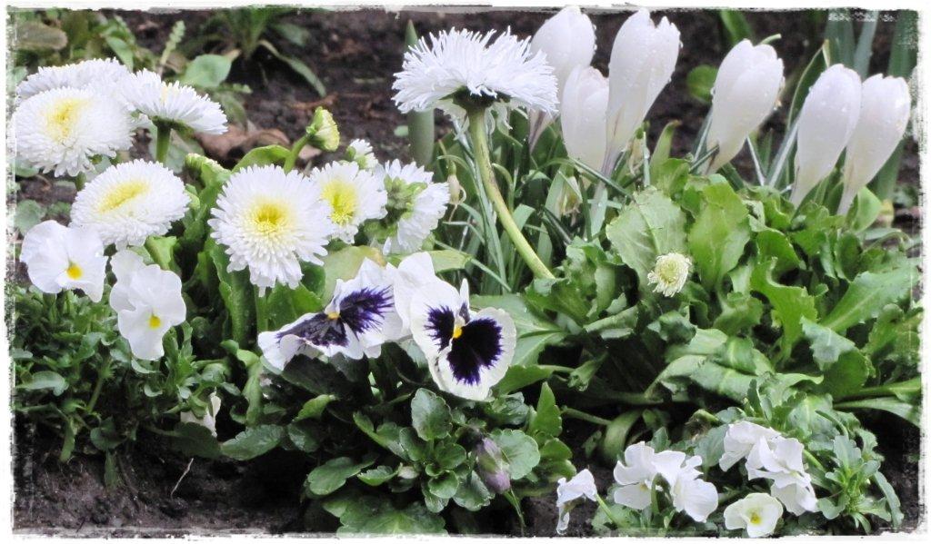 kwiaty kwitnące wczesną wiosną zogrodemnaty19