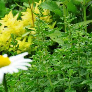 1a zioła w ogrodzie zogrodemnaty