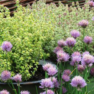 2 zioła w ogrodzie zogrodemnaty