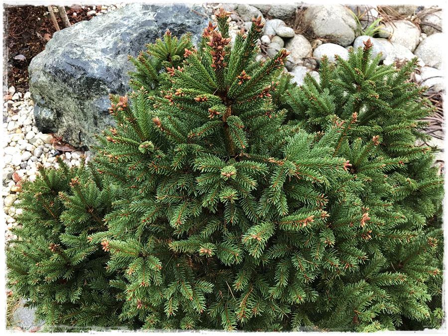 Iglaki W Roli świątecznego Drzewka W Ogrodzie Z Ogrodem Na Ty